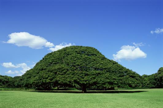 プリンスロット・フラフェスティバル:この樹なんの樹